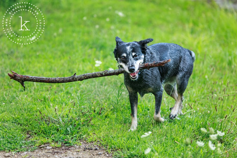 wet dog carrying stick