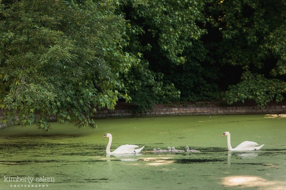 family of swans on the lake at prospect park